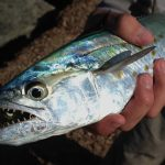 Port Aransas spanish mackerel